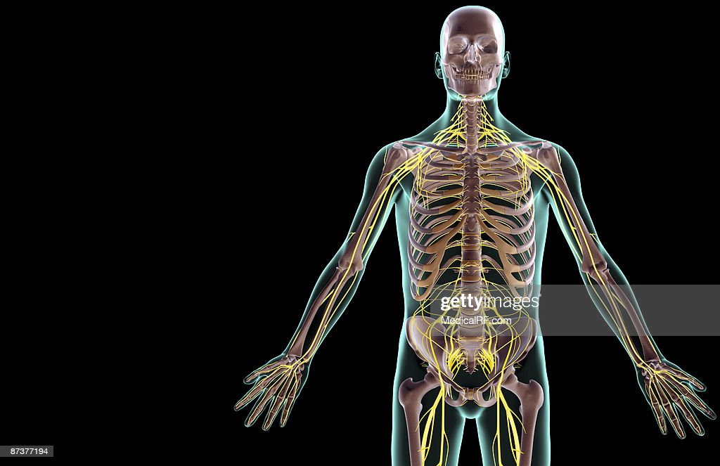 The Nerves Of The Upper Body Stock Illustration | Getty Images