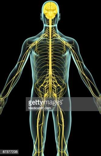 The Nerves Of The Upper Body High-res Vector Graphic