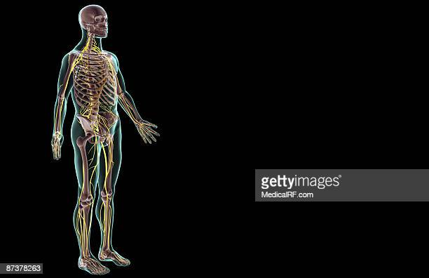 the nervous system - central nervous system stock illustrations, clip art, cartoons, & icons