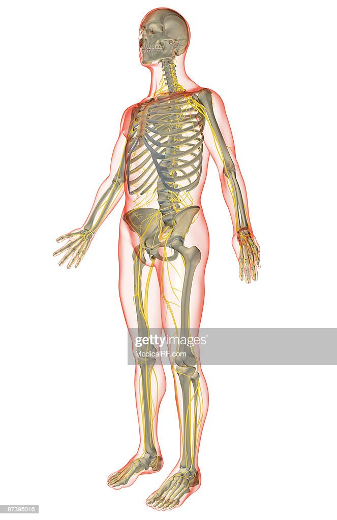The Nervous System Stock Illustration Getty Images
