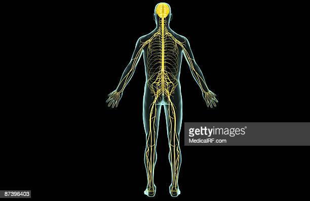ilustrações de stock, clip art, desenhos animados e ícones de the nervous system - sistema nervoso central