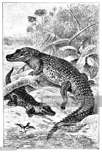 the nile crocodile (crocodylus niloticus) - nile river stock illustrations, clip art, cartoons, & icons