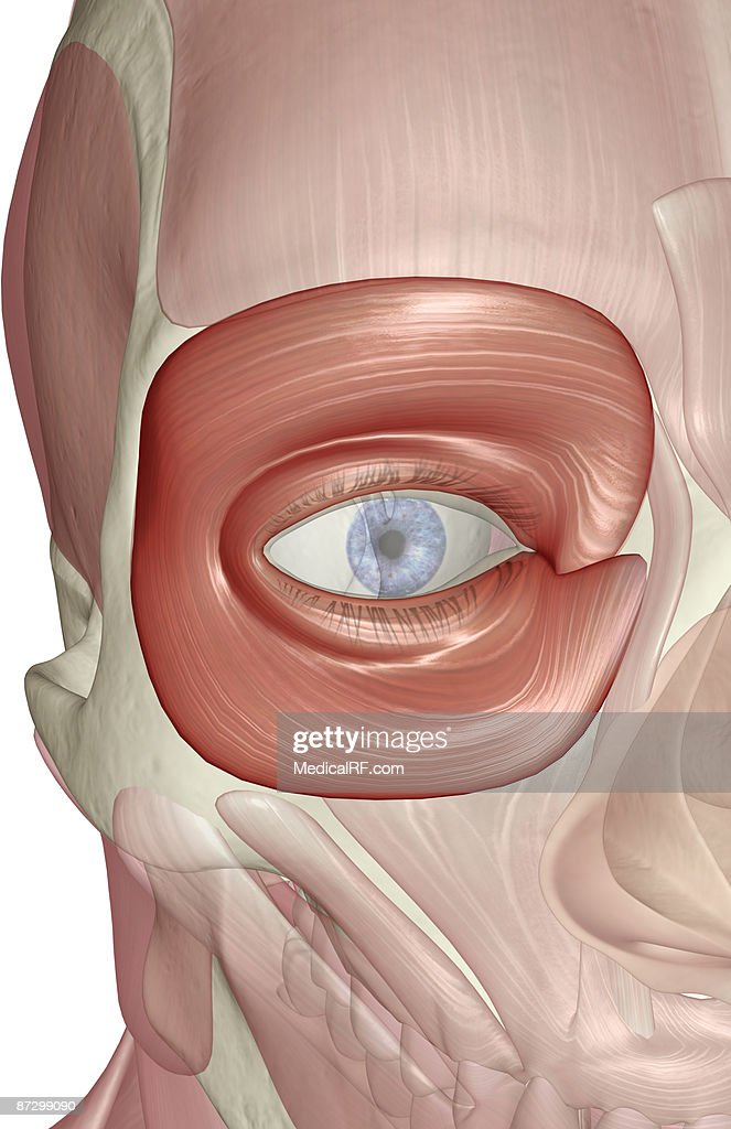 The Orbicularis Oculi Muscle Stock Illustration | Getty Images
