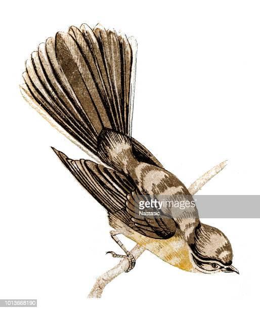The Palau fantail (Rhipidura lepida)