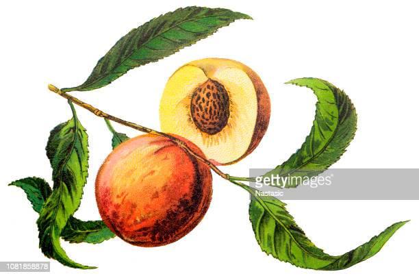 the peach (prunus persica) - peach stock illustrations