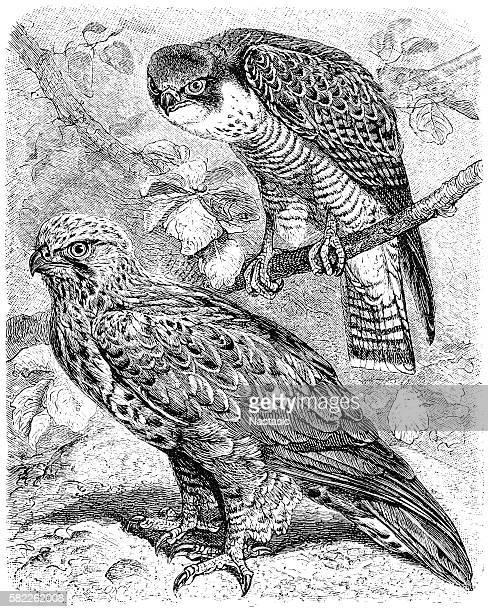 the peregrine falcon (falco peregrinus) and the rough-legged buzzard (buteo lagopus) - peregrine falcon stock illustrations, clip art, cartoons, & icons
