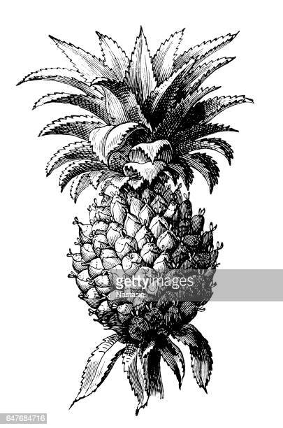 The pineapple (Ananas comosus)