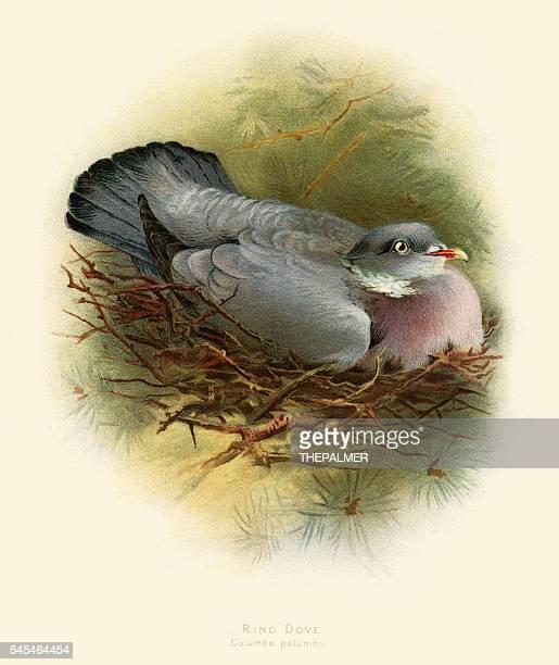 the ring pigeon illustration 1900 - animal limb stock illustrations, clip art, cartoons, & icons