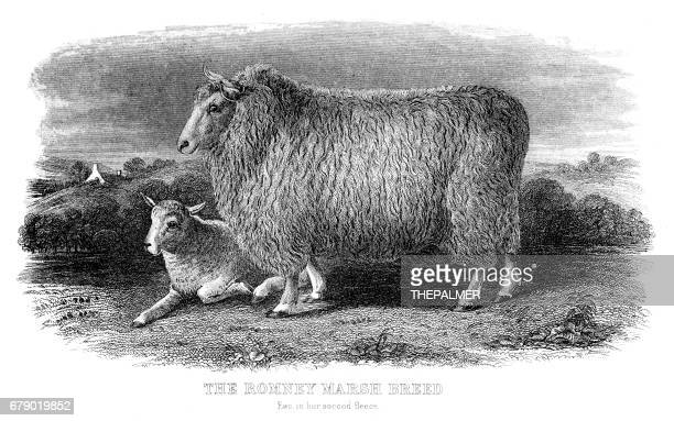 the romney sheep engraving 1878 - sheep stock illustrations, clip art, cartoons, & icons