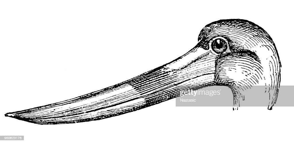 The saddle-billed stork (Ephippiorhynchus senegalensis) : stock illustration