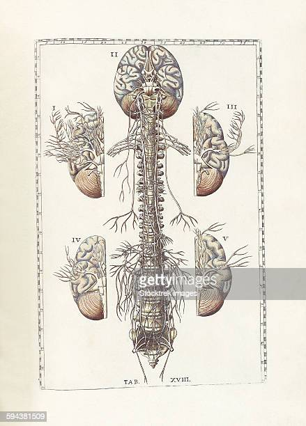 the science of human anatomy by bartholomeo eustachi. - anatomical model stock illustrations, clip art, cartoons, & icons
