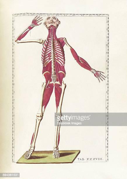ilustraciones, imágenes clip art, dibujos animados e iconos de stock de the science of human anatomy by bartholomeo eustachi. - modelos del cuerpo humano