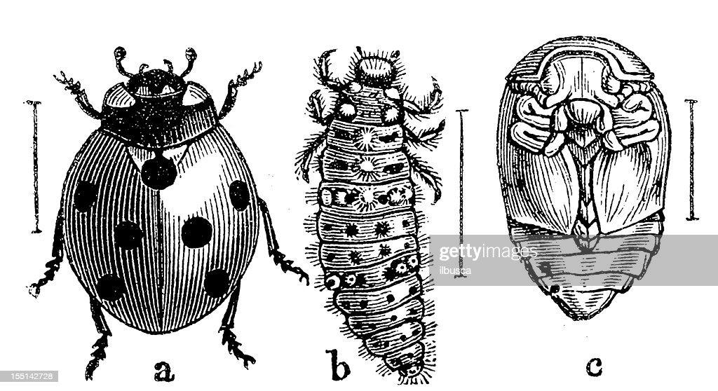 The Seven-spot Ladybird (Coccinella Septempunctata) : stock illustration