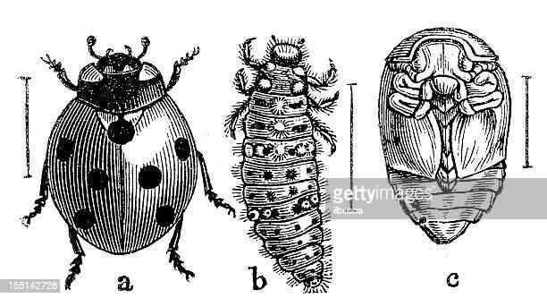 bildbanksillustrationer, clip art samt tecknat material och ikoner med the seven-spot ladybird (coccinella septempunctata) - gravyr