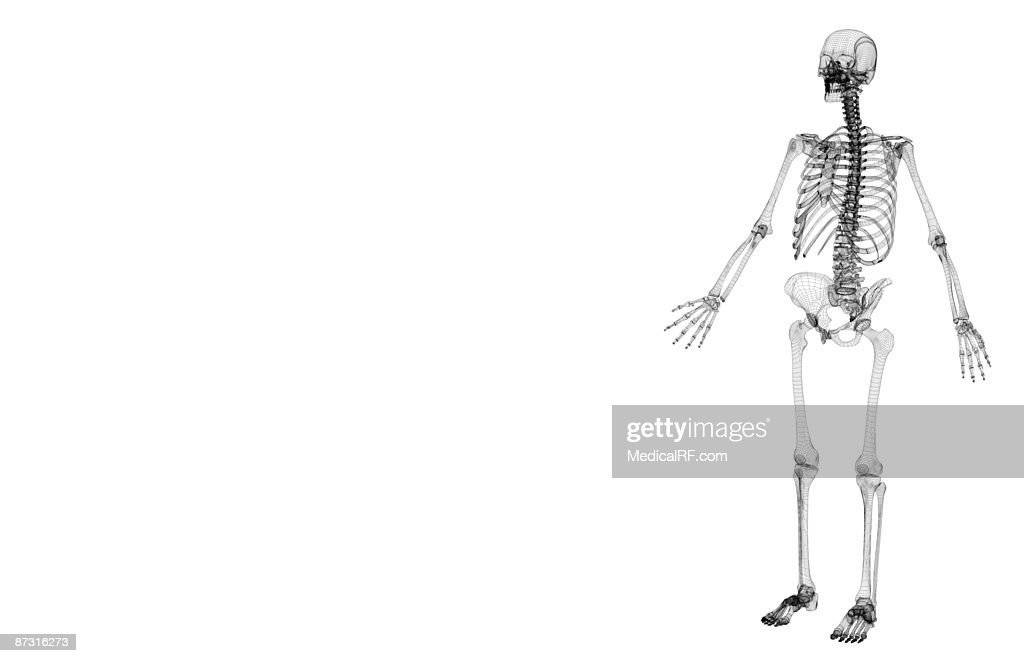 The Skeletal System Stock Illustration Getty Images