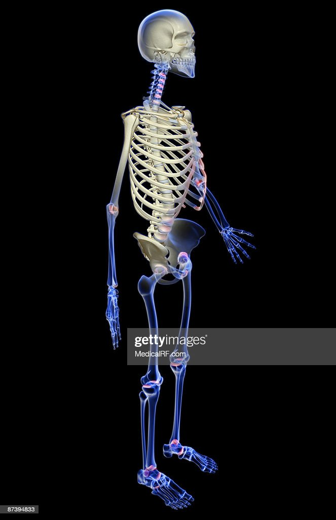 The Skeletal System Stock Illustration Getty Images