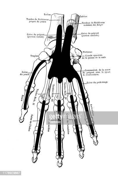 筋肉挿入とティーティ、靭帯を持つ手の骨格 - 靭帯点のイラスト素材/クリップアート素材/マンガ素材/アイコン素材