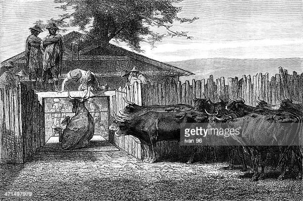 ilustraciones, imágenes clip art, dibujos animados e iconos de stock de el ganado'slaughter - matadero