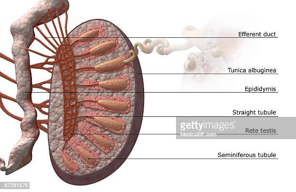 Rete Testis Stock Illustrations And Cartoons | Getty Images