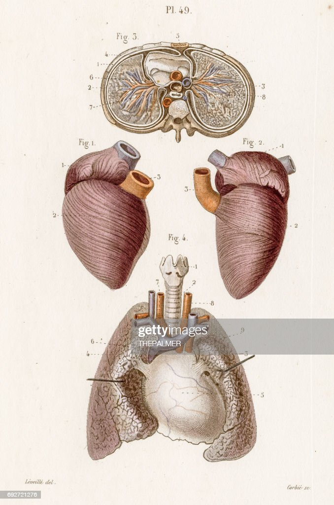 The Thorax Anatomy Engraving 1886 Stock Illustration | Getty Images