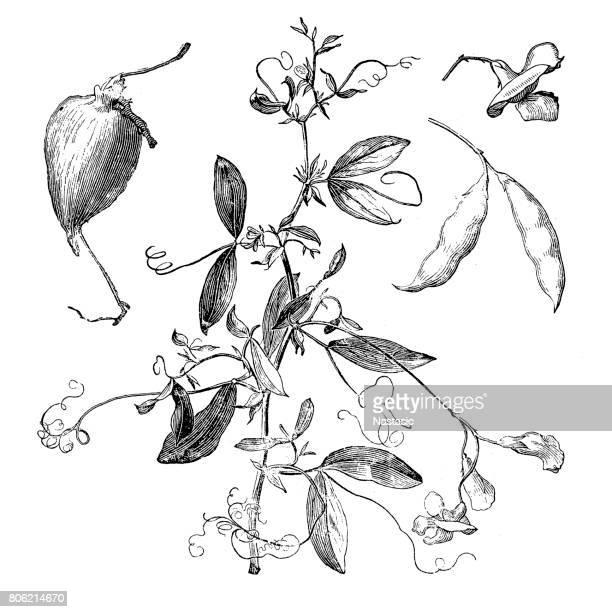The tuberous pea, tuberous vetchling, earthnut pea, or aardaker (Lathyrus tuberosus)