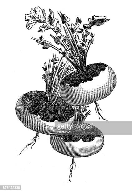 the turnip or white turnip (brassica rapa) - rutabaga stock illustrations, clip art, cartoons, & icons