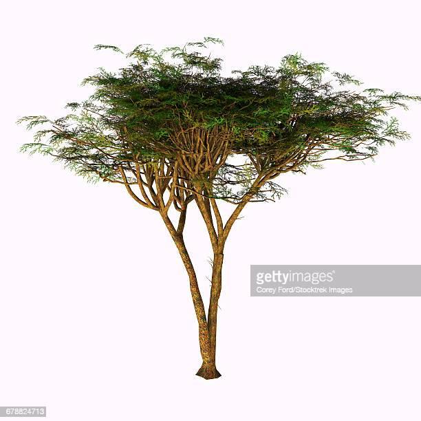 illustrations, cliparts, dessins animés et icônes de the umbrella thorn acacia tree on white background. - un seul animal