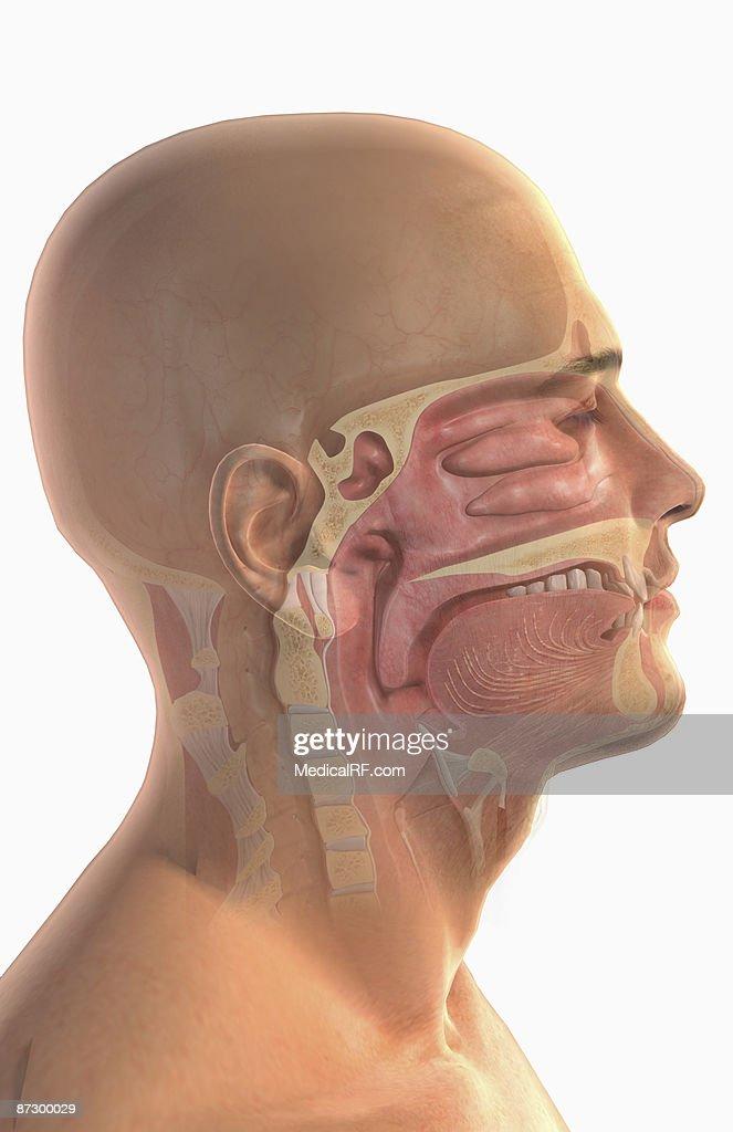 The upper respiratory system : stock illustration