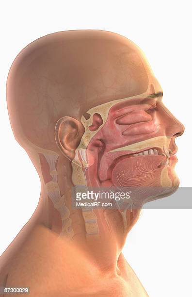 the upper respiratory system - nasal passage stock illustrations
