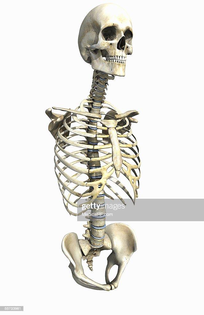 The Upper Skeletal System Stock Illustration Getty Images