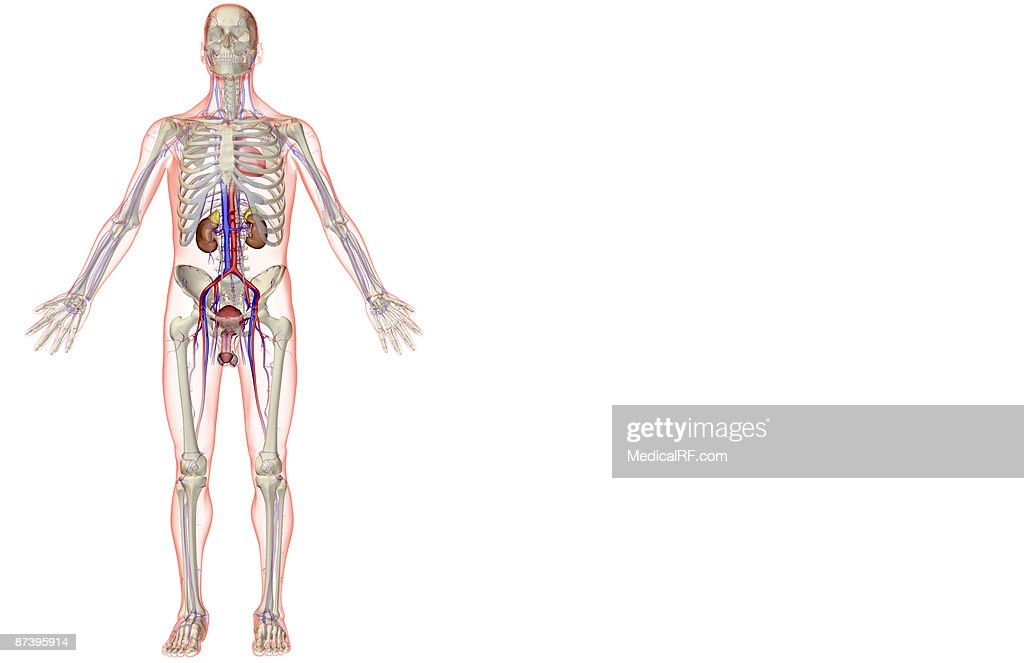 The Urinary And The Vascular System Stock Illustration Getty Images
