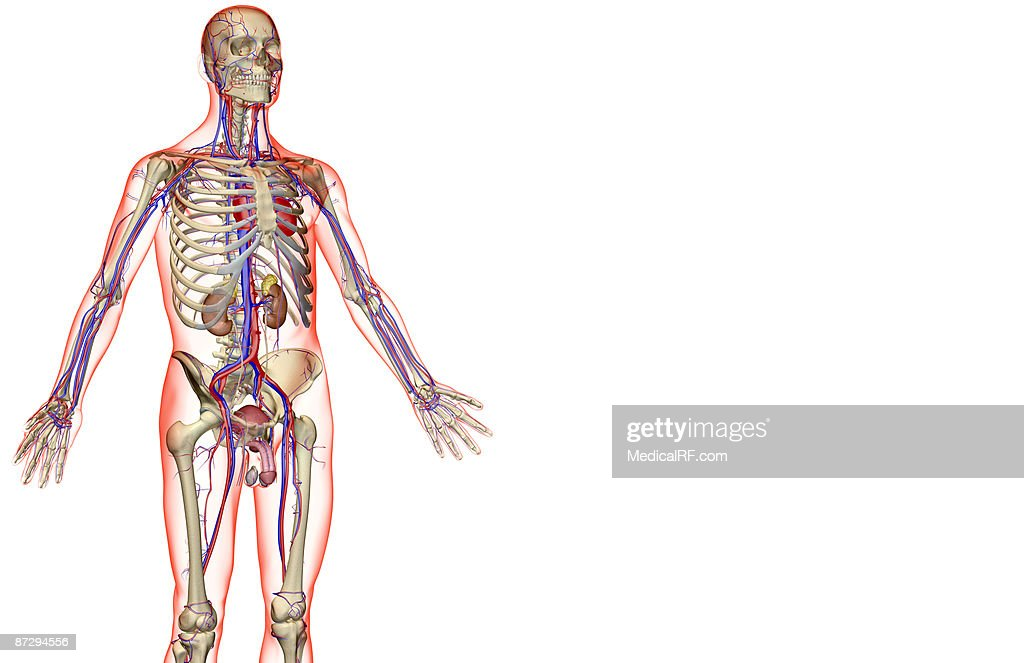 The Urinary System And The Vascular System Stock Illustration