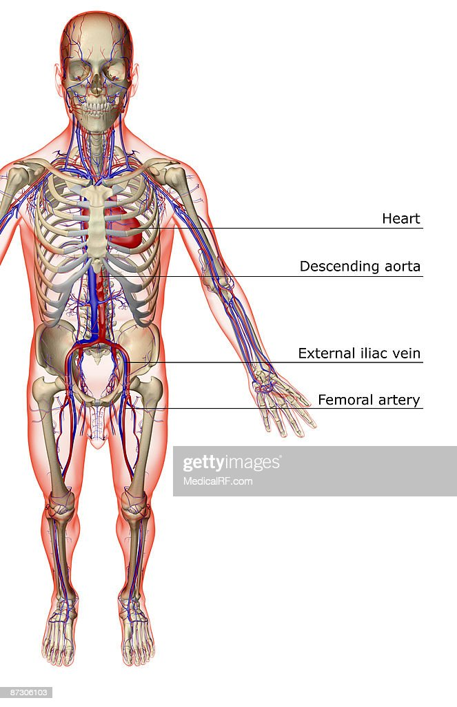 The Vascular System Stock Illustration Getty Images