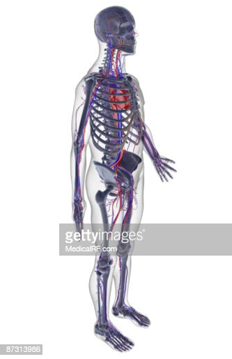 Vascular System Artwork Stock Illustration Getty Images