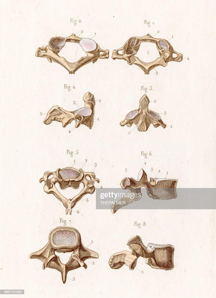 The Vertebrae Anatomy Engraving 1886 Stock Illustration Getty Images