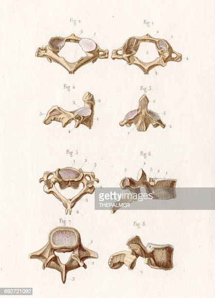 Human Vertebra Stock Illustrations And Cartoons Getty Images