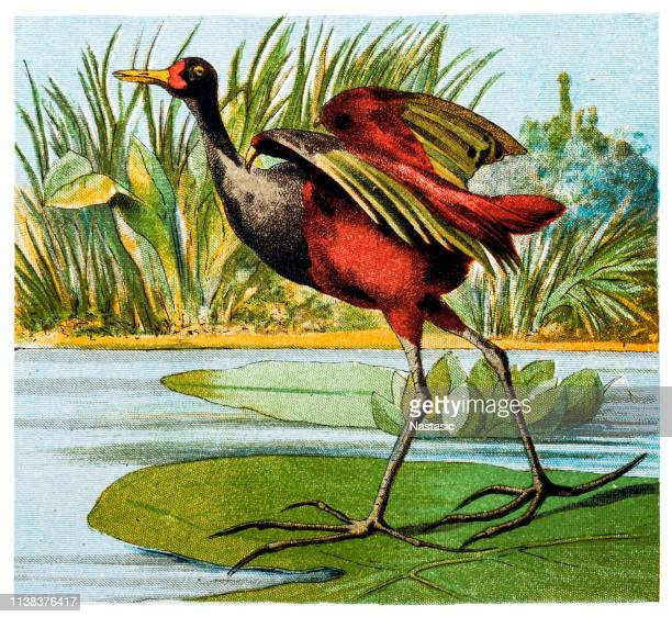 The wattled jacana (Jacana jacana) is a wader which is a resident breeder from western Panama and Trinidad south through most of South America east of the Andes