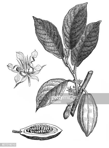 illustrazioni stock, clip art, cartoni animati e icone di tendenza di theobroma cacao ,cocoa bean - incisione tecnica illustrativa