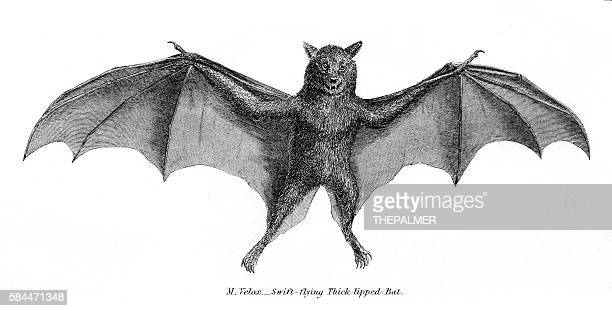 Thick tipped bat illustration 1803