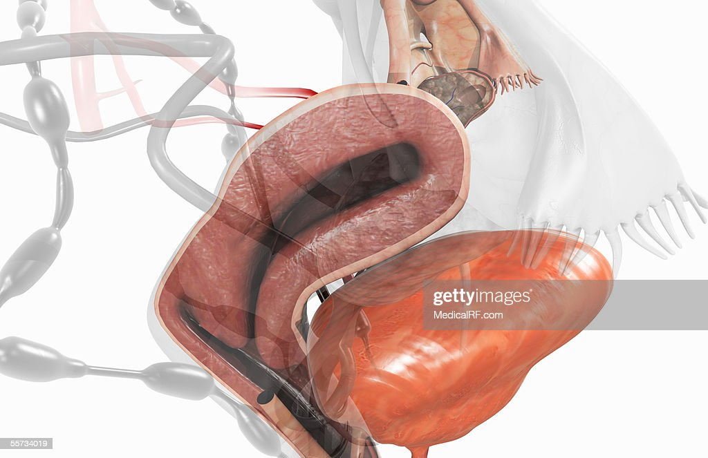 This Image Depicts A Midsagittal Section Of The Uterus Within The