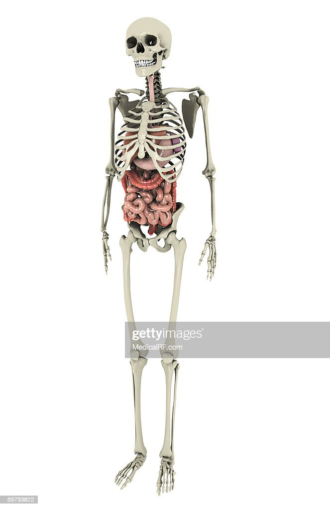 This Image Depicts The Digestive System Within The Skeletal System