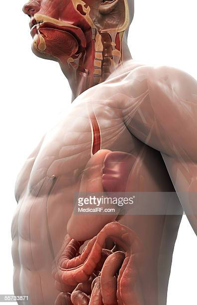 this image depicts the stomach, gastrointestinal system and sectioned head within the human body. - nasal passage stock illustrations