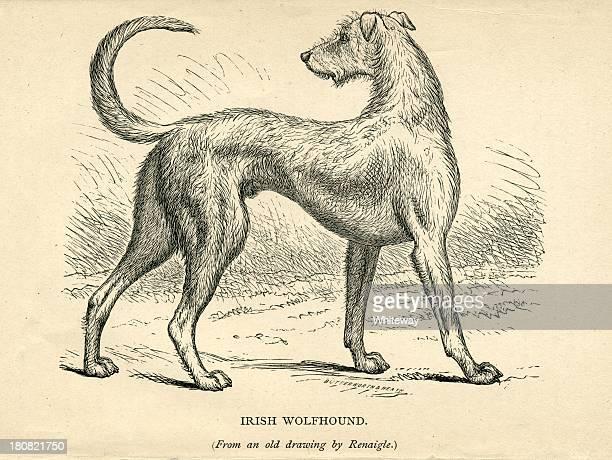 アイリッシュウルフハウンド 19 世紀の犬の彫りこみ文字 - アイリッシュウルフハウンド点のイラスト素材/クリップアート素材/マンガ素材/アイコン素材