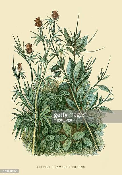 thistle and bramble illustration 1851 - thistle stock illustrations, clip art, cartoons, & icons