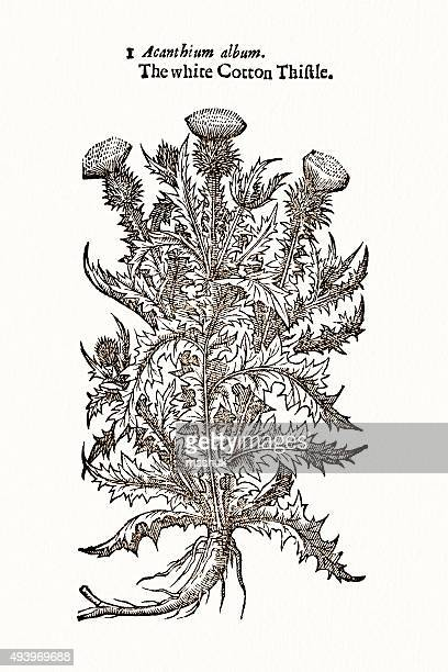 thistle - thistle stock illustrations, clip art, cartoons, & icons