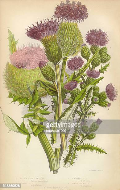 thistle, milk thistle, musk thistle, scotland, victorian botanical illustration - thistle stock illustrations, clip art, cartoons, & icons