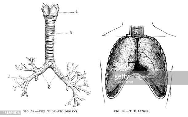 胸椎の臓器や肺 - 人体図点のイラスト素材/クリップアート素材/マンガ素材/アイコン素材