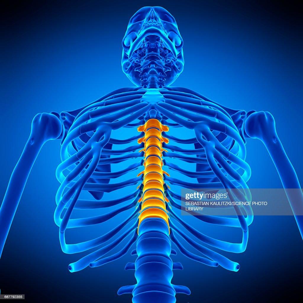 Thoracic Spine Illustration Stock Illustration Getty Images