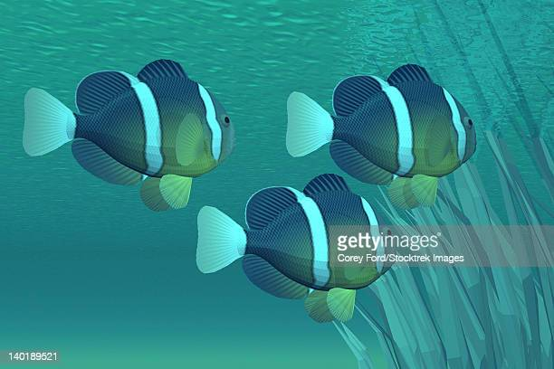 Three clownfish swim close to some seaweed plants in the ocean shallows.