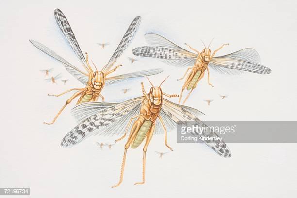 Three Desert Locusts (schistocerca gregaria) in flight, front view.